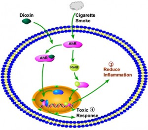 the aryl hydrocarbon receptor attenuates pulmonary inflammation caused by cigarette smoke