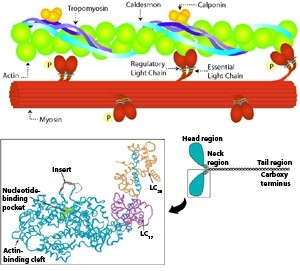 Molecular mechanisms of airway smooth muscle contraction. AMLauzon