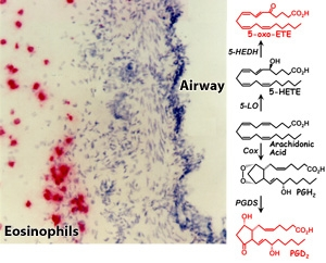 Eosinophil chemoattractant lipids. W Powell