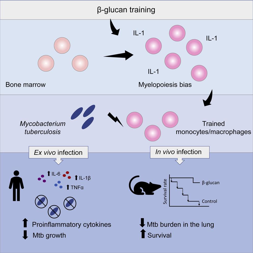 β-glucan Induces Protective Trained Immunity
